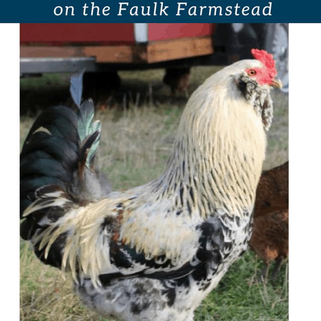 Farm Profile: Raising Chickens on the Faulk Farmstead