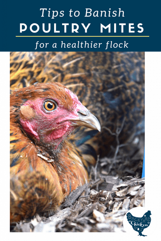 There's nothing worse than finding bugs all over your birds! We've been there, here's our suggestions for preventing and treating poultry mites.