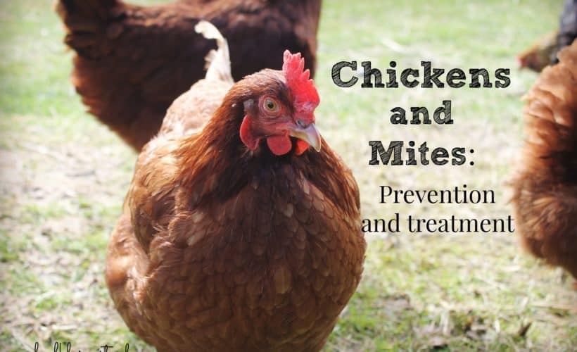 Chickens & Mites: Prevention and Treatment :: Faulk Farmstead