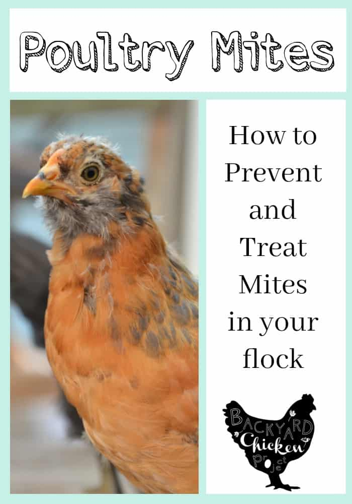 Chickens Mites Prevention And Treatment