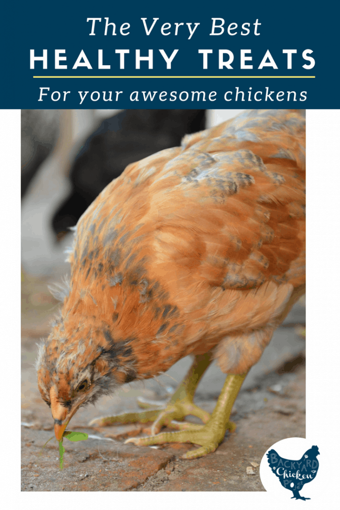 Your chickens work hard to supply with you fresh eggs, they deserve a treat once in a while! Chickens love treats but what should you feed them? Here are the best healthy treats for chickens (and share what you should not be feeding flock!)