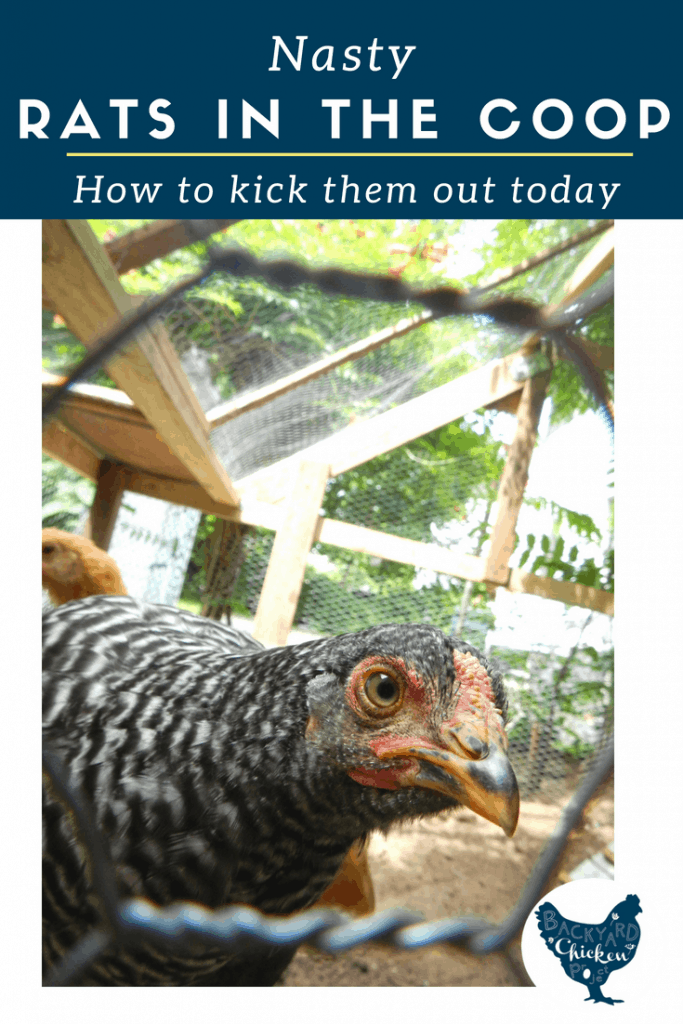So you have a rat problem? We've been there. And even when it seems hopeless, know that there is a light at the end of the tunnel. Follow this step-by-step guide of the best way to get rid of rats in chicken coop. You'll be rat-free within a few weeks!
