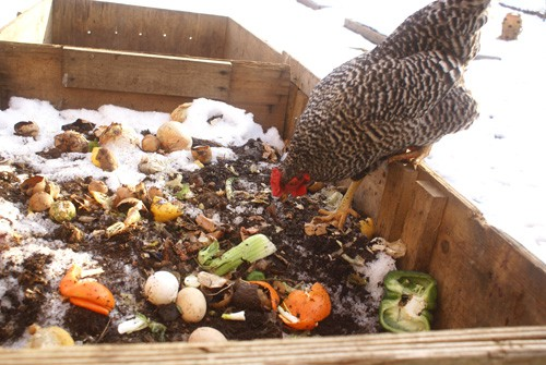 How to get rid of rats in the chicken coop