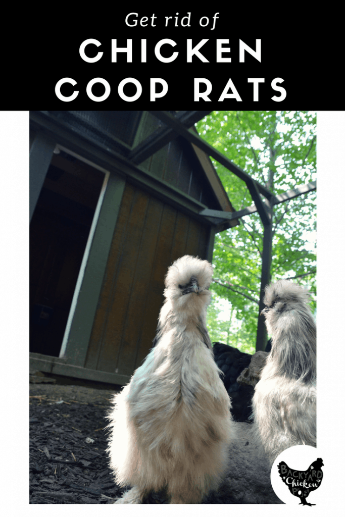 We've put together the definitive guide to help you get rid of rats in the chicken coop!