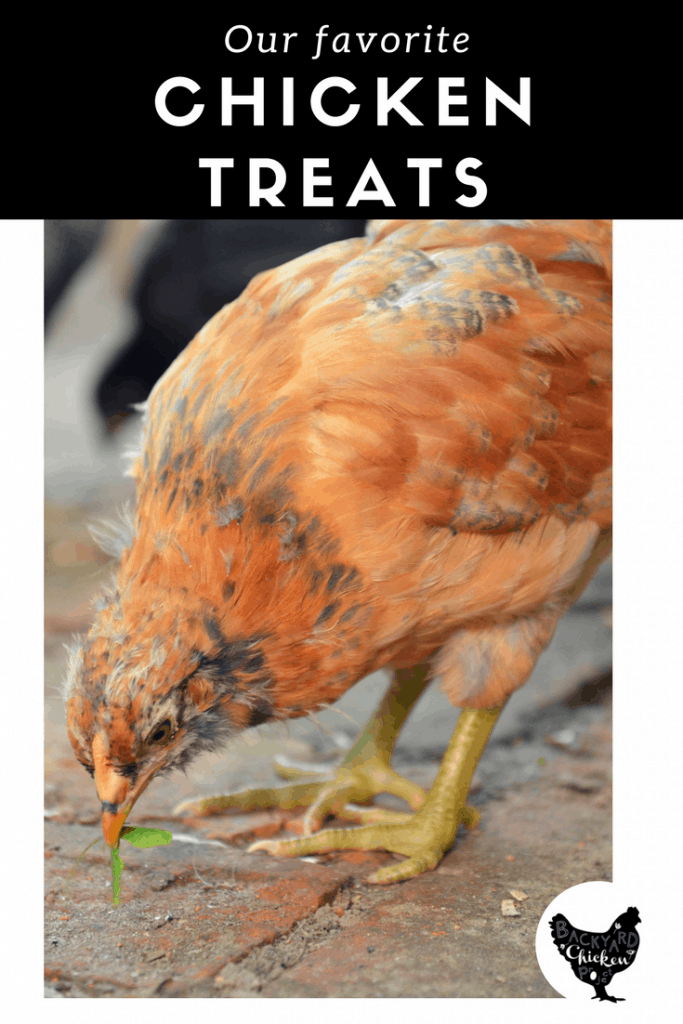 Your chickens work hard to supply with you fresh eggs, they deserve a treat once in a while! Find out just what to feed them here!