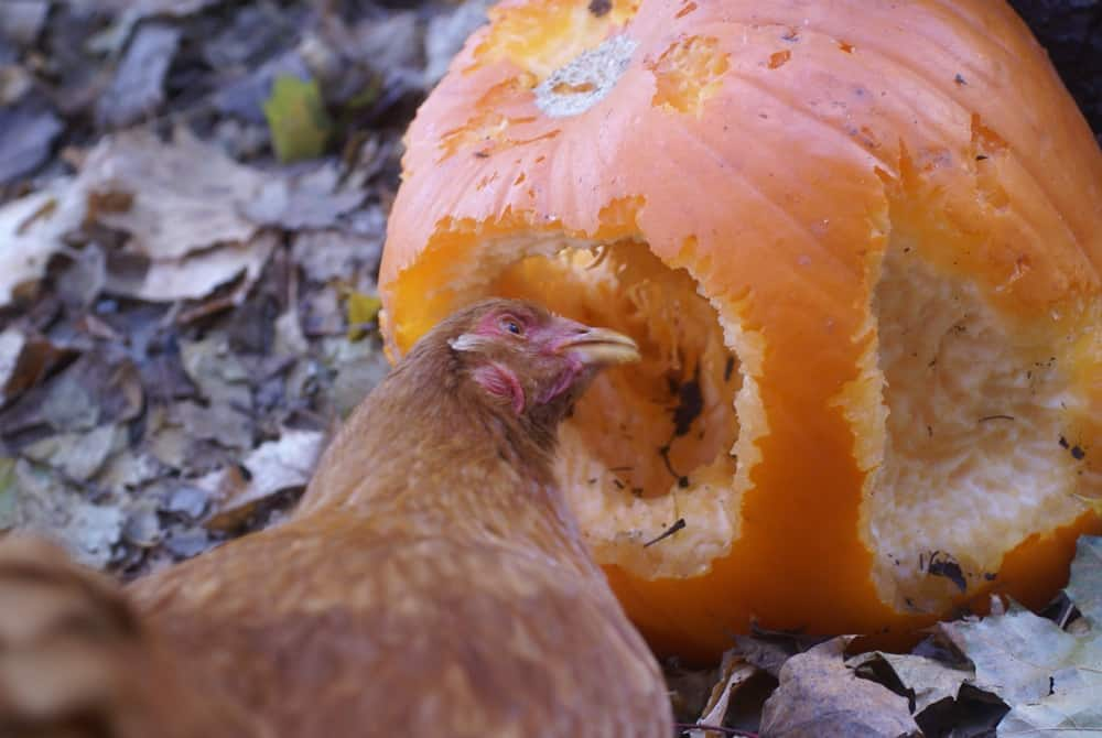 The Very Best Healthy Treats for Chickens
