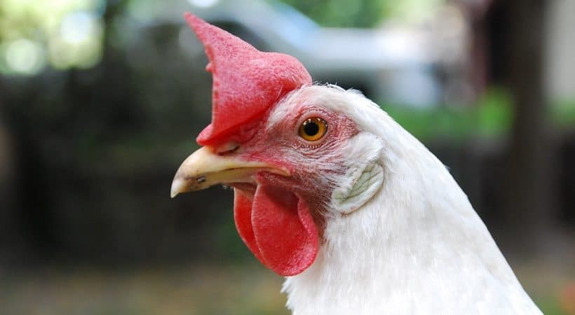 Don't let the feed store convince you that you have to buy EVERY chicken supply to successfully raise poultry. Here's six products we believe you don't need, so you can spend your money elsewhere, like on more chickens!
