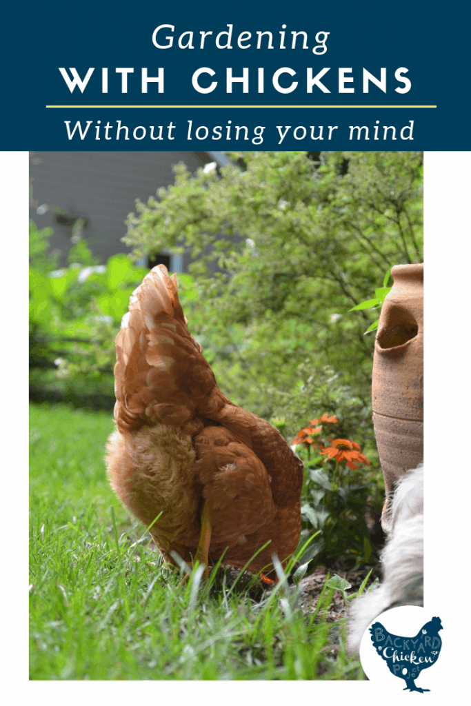 Having free ranging chickens and a garden at the same time can be quite the feat, but there are ways to keep chickens out of your garden.