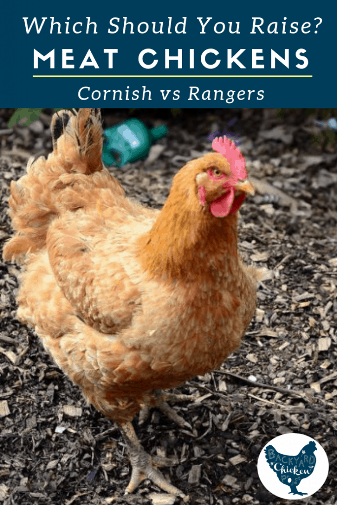 Which meat breed is right for you and your homestead? This post takes a look at the pros and cons of raising the cornish cross.