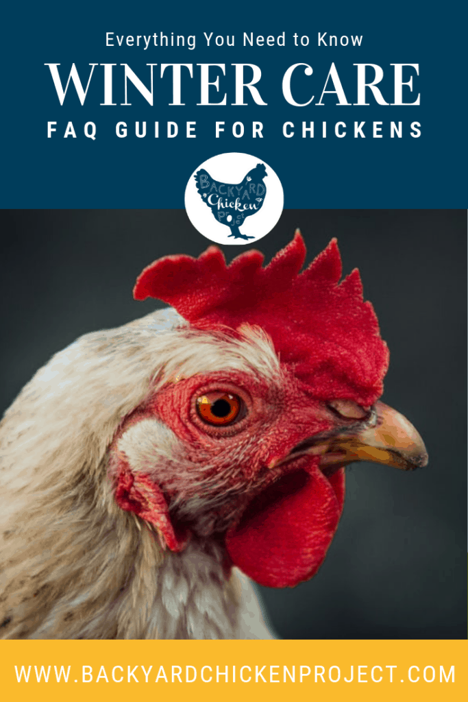 Winter chicken care can be confusing, whether you're new to chicken keeping or a seasoned flock master. Find all the answers here. #homesteading #homestead #backyardchickens #chickens #raisingchickens #poultry #homesteading #homestead