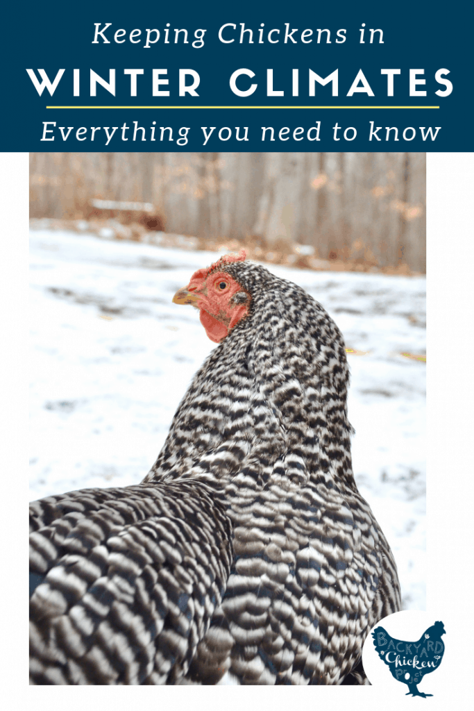 Taking care of chickens in the winter can be a challenge, follow our best tips and you and your chickens will be just fine!
