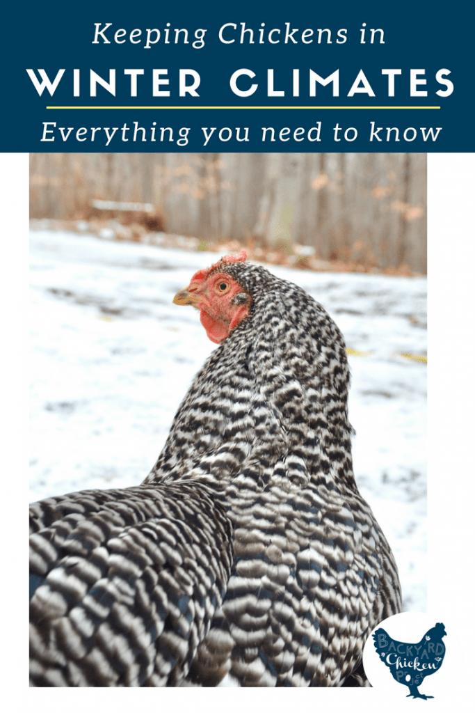 Winter chicken care can be confusing, whether you're new to chicken keeping or a seasoned flock master. Find all the answers here.
