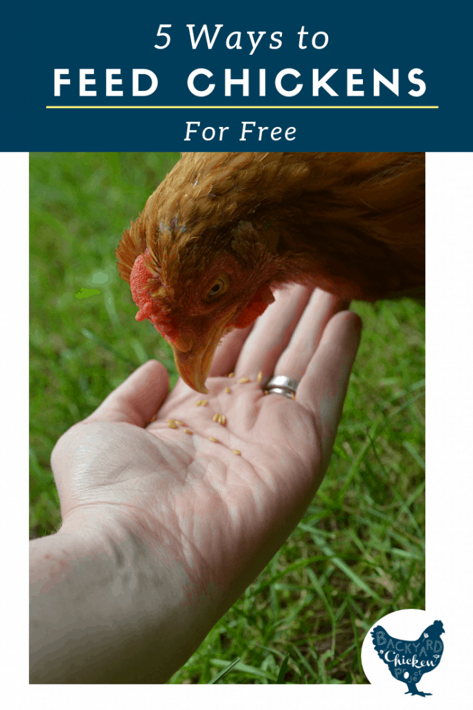 Want to know what to feed chickens for FREE? There are many free chicken feed ideas to supplement your feed bill. You just need to get creative!