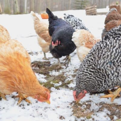 Keeping chickens in the winter is much the same as the summer. Follow these six easy tips to keep your chickens warm and healthy during the cold winter months.