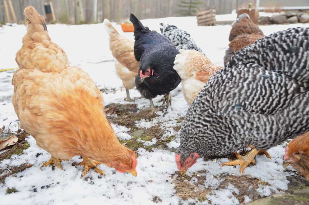 How to Raise Chickens in Winter: 6 Tips and Tricks