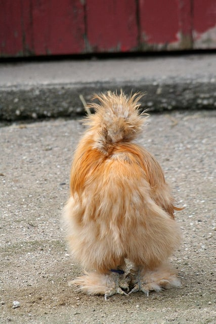Silkie Chickens are quirky and friendly, the perfect backyard pet!