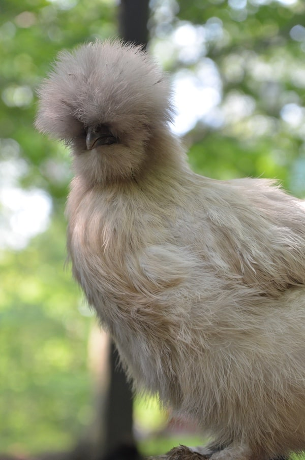 Silkie chickens are the perfect addition to your backyard chicken flock!