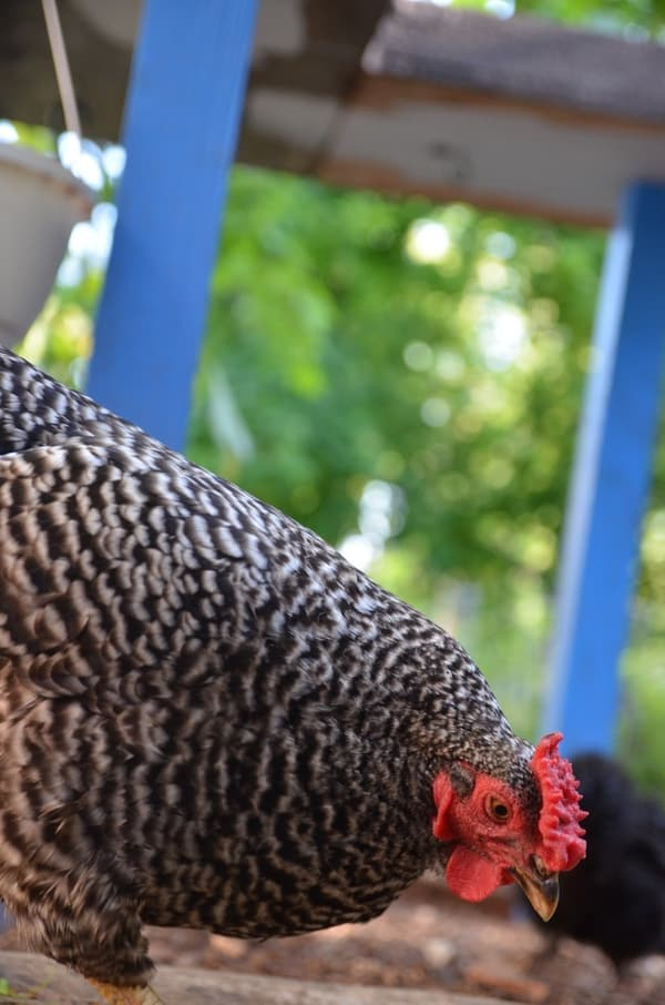 Are your chickens wrecking your beautiful garden? You