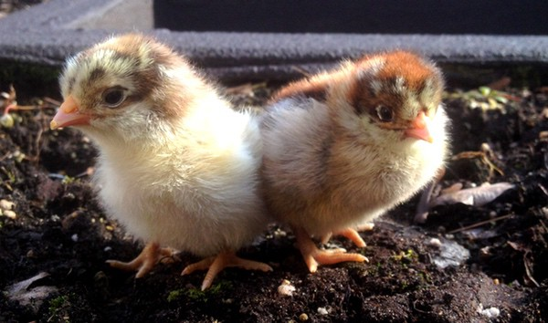 2 chicks // How to Save Money Raising Chickens on a Budget