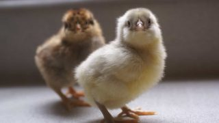 There's a lot to consider when it comes to raising chickens in the city. Between haughty neighbors, government permits, and city predators, this venture is much different than raising country chickens. This post is the ultimate guide to get you well on your way to chickens in your backyard!