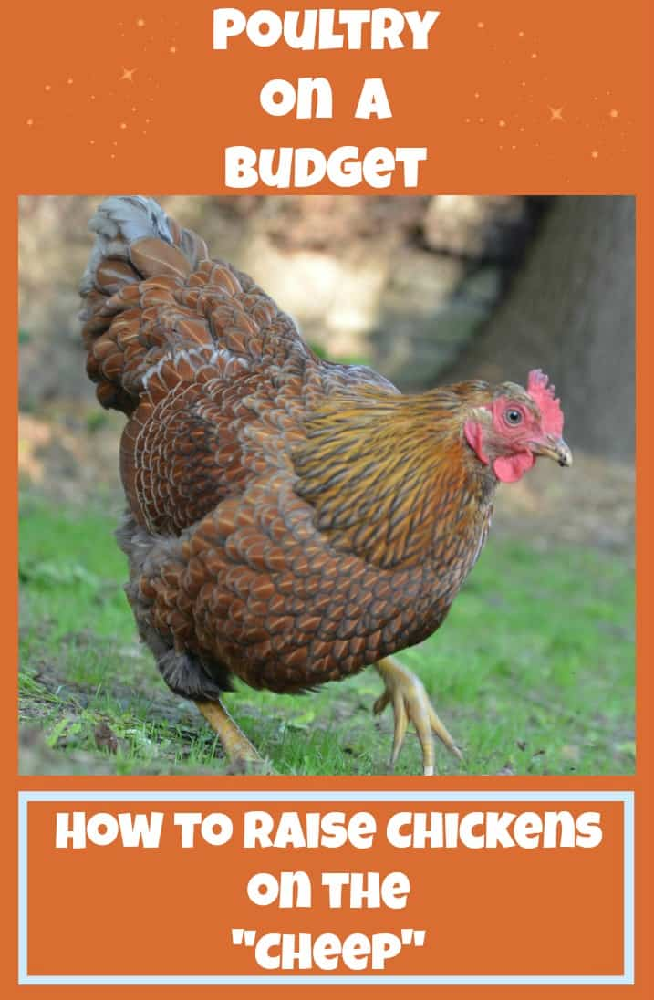 Poultry on a Budget: How to Save Money Raising Chickens