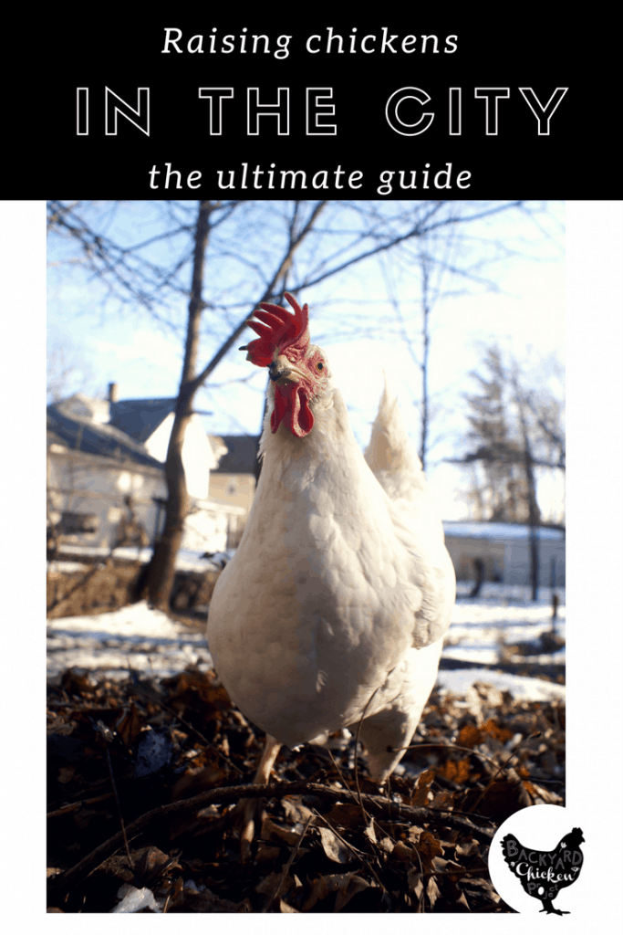 Are you thinking about raising chickens in the city? This guide is for you!