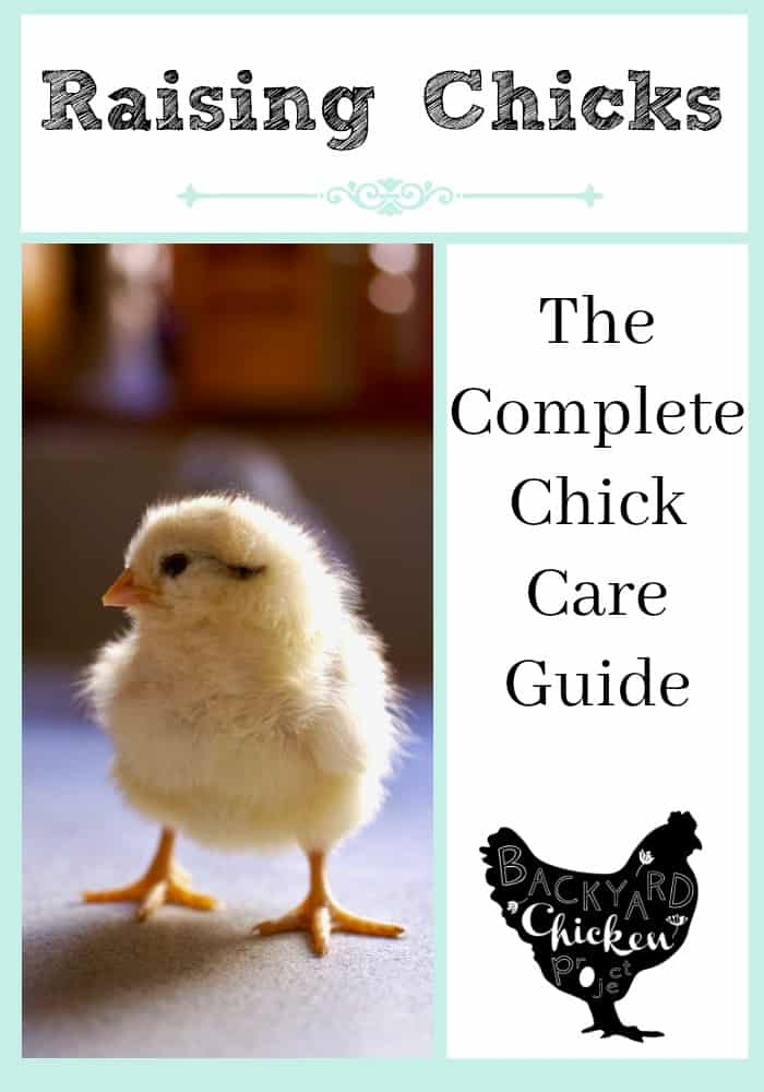 Bringing home baby chicks can be completely overwhelming. This guide tells you everything you need to know to get through those first few weeks!
