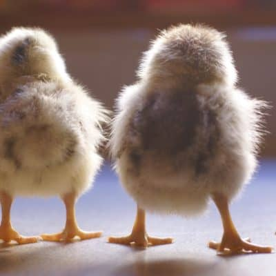 The Essential List of Chicken Names
