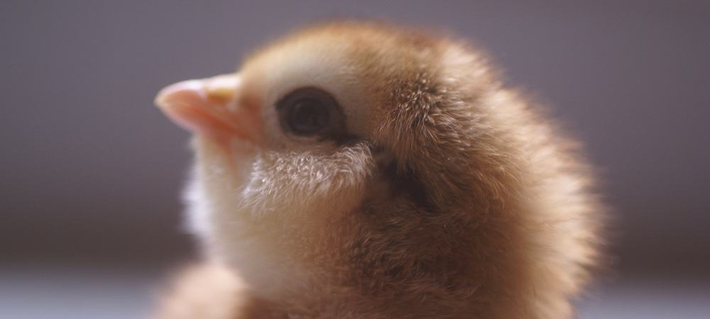 The Ultimate Guide to Raising Baby Chicks