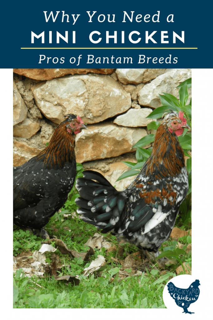Mini chickens are all the rage, let us tell you why you need to add bantam breeds to your flock!