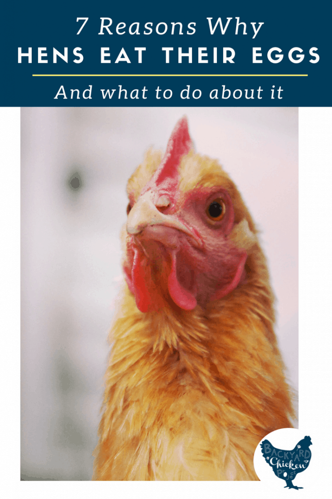 When chickens are eating eggs it can be extremely difficult to stop. The first step is understanding why.