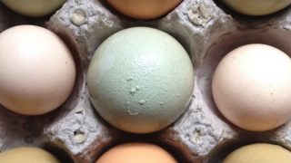 When hens start eating their own eggs it can be extremely frustrating. Here are some of the causes for hens eating their own eggs, and what you can do about it.