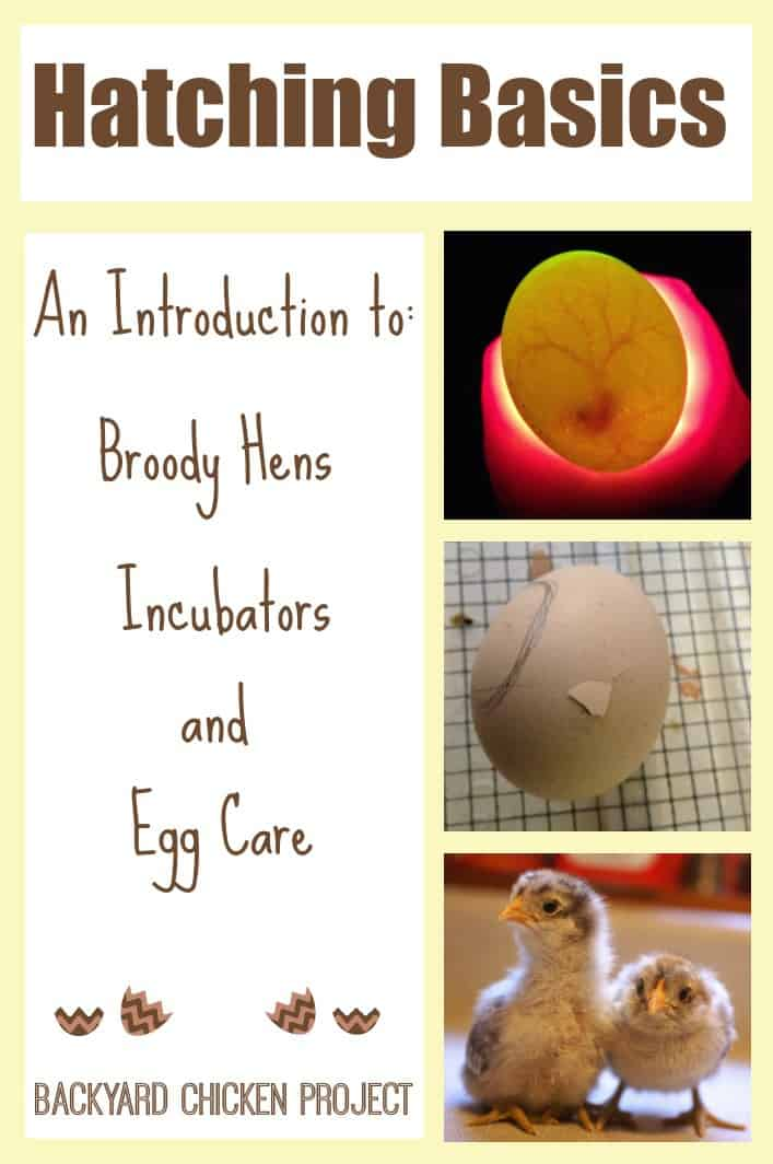 Hatching chicks is exciting and nerve wracking all at once. Before you even set up the incubator it's important to educate yourself and get as much information as possible. This post is a great introduction to hatching, covering all the basics!
