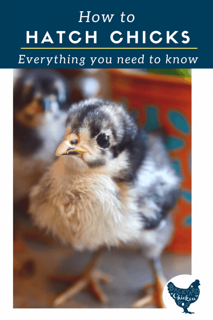 Everything you need to know to hatch your own chicks!