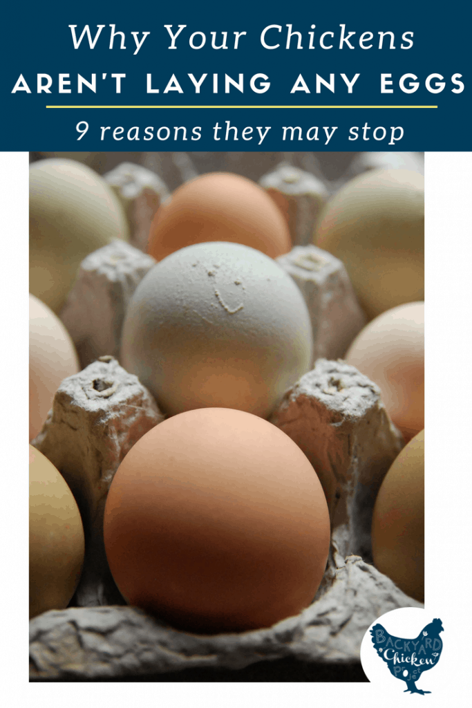 There are many reasons that hens stop laying eggs. We break them down and clear up the confusion .