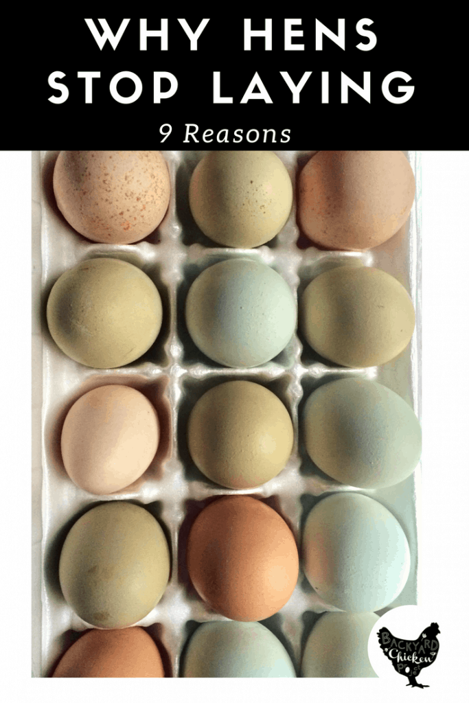 When your chickens stop laying eggs, it can be really frustrating! We're sharing 9 reasons this may have happened, and how to solve them!