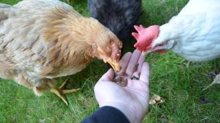 Our hens love tasty grubs so much they eat them right out of our hand!