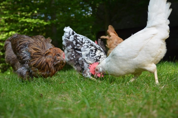 Our hens adore Tasty Grubs, a treat so good they don't know it's good for them!