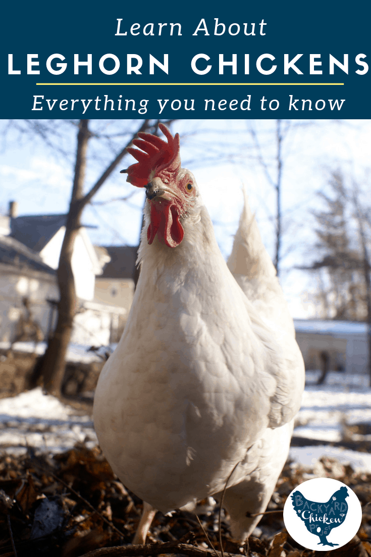 The Leghorn chicken is a champion egg layer, learn more about this amazing bird! #chickens #breed #leghorn #chickenbreeds #homesteading #poultry