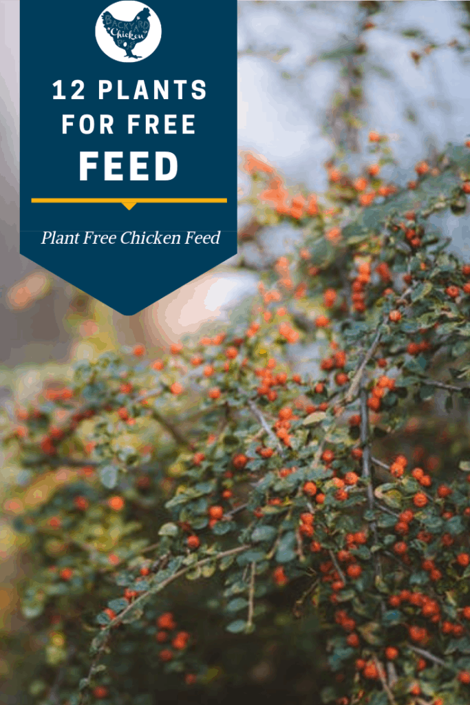 You can seriously save on chicken feed by planting these 12 perennials that chickens eat naturally. #homesteading #homestead #backyardchickens #chickens #raisingchickens #poultry