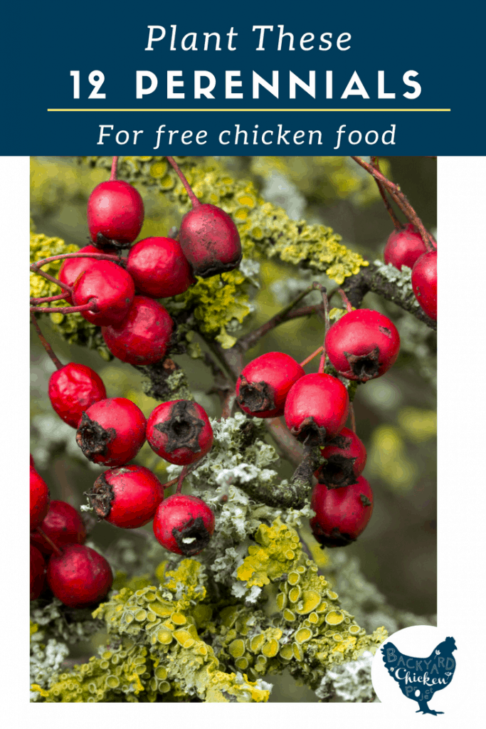 You can seriously save on chicken feed by planting these 12 perennials and letting your chickens go to town!