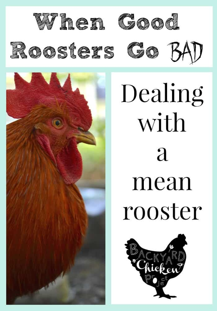 You might be asking yourself why your formerly cuddly rooster is suddenly attacking you. We have all the answers.