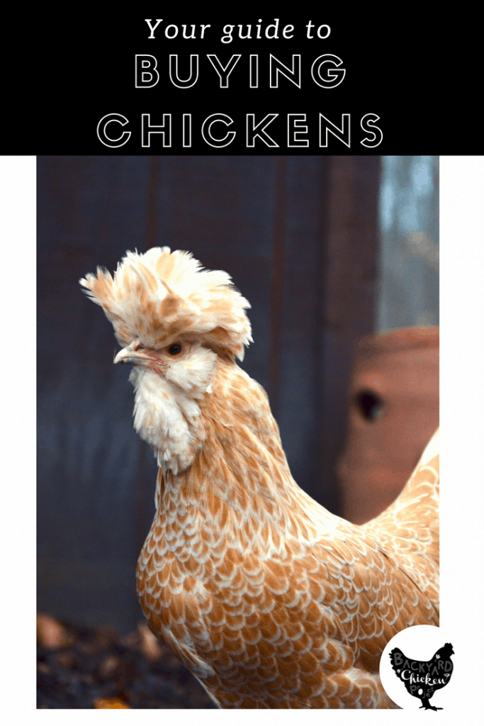 There's a lot to know before you buy chickens for the first time. Check out our guide to ensure you buy healthy chickens every time!