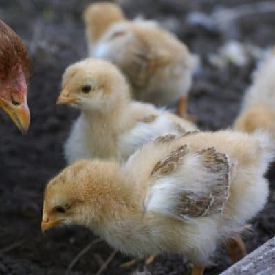 When you're looking to hatch eggs you have one very important decision to make. Should you use a broody hen or an incubator? Our guide will help you decide!