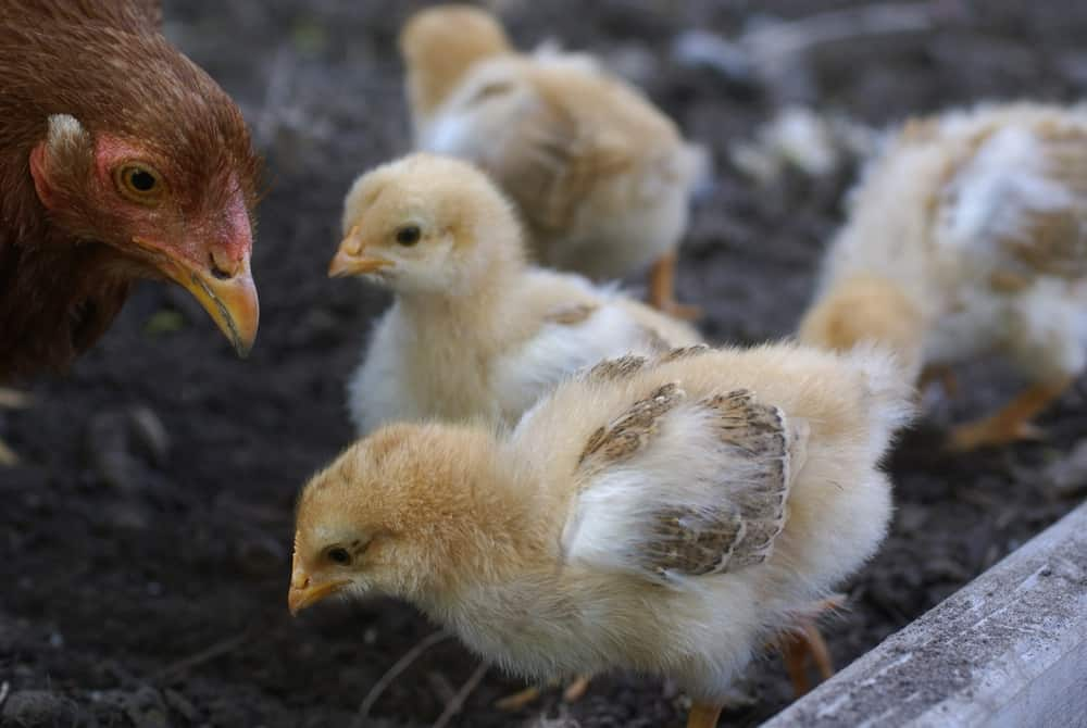 Hatching Eggs : Broody Hen or Incubator, which is best?