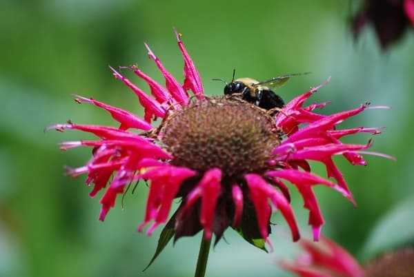 BEE BALM: You can seriously save on chicken feed by planting these 12 perennials that chickens eat naturally.