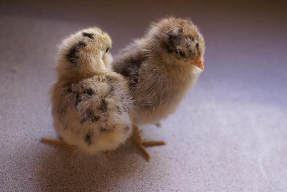 How to Buy Chickens: Our Best Tips!