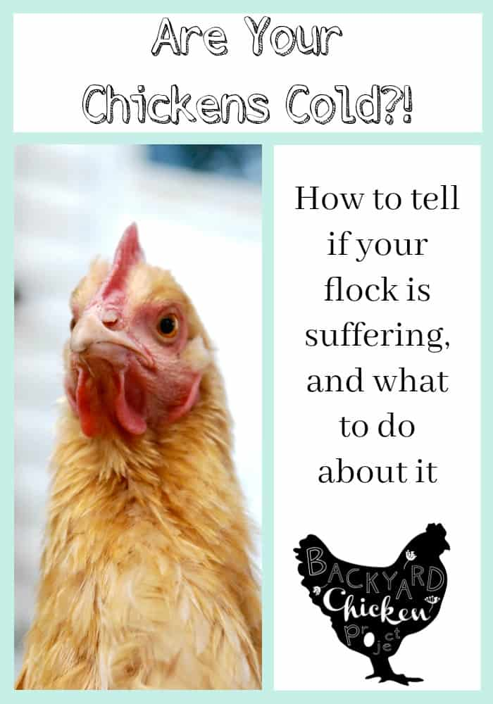 Winter can be a stressful time for new chicken keepers. Worries about the chicken coop being warm enough and the chickens surviving the bitter cold run through their minds. This post will help put your mind at ease and tell you exactly how to prepare the coop for winter.