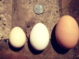 Have you ever wondered why farm fresh eggs come in different colors?