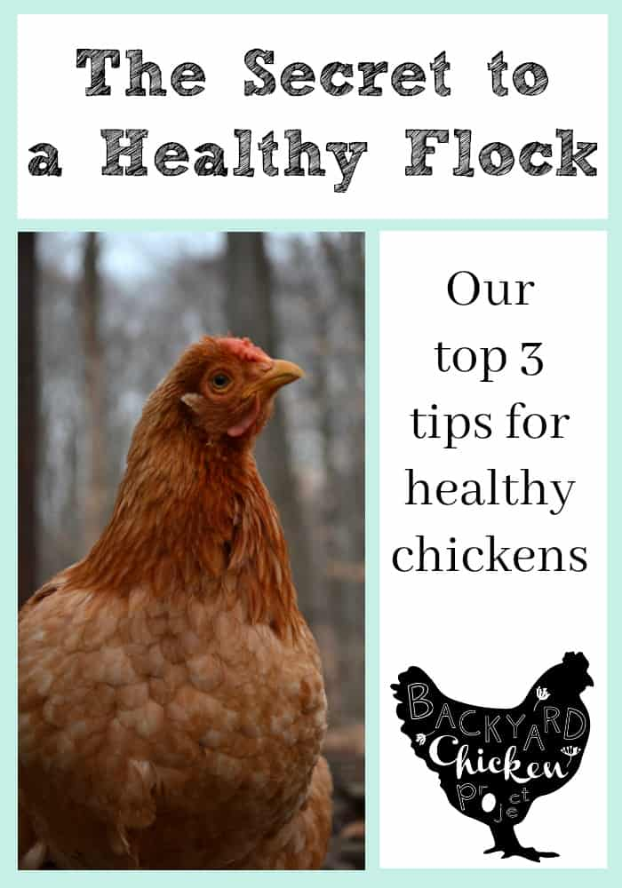Our top three tips for keeping healthy chickens